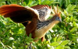 Living evolution: archaeopteryx, pterodactyl, hoatzin