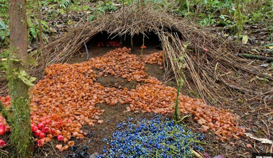 Bower of Vogelkop bowerbird (credit: Tim Laman / naturepl.com)